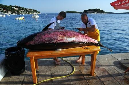 tunczyk hvar